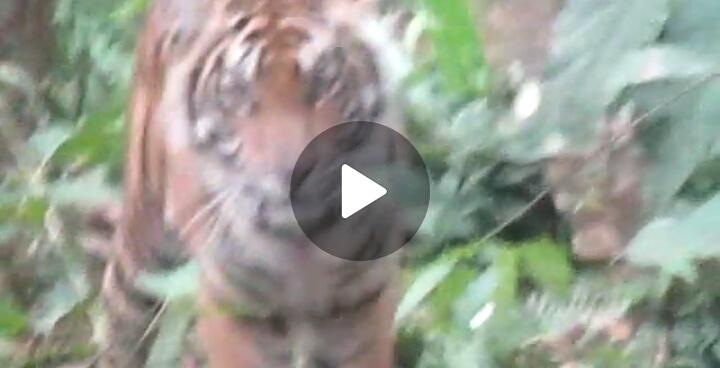 Tim BKSDA Riau dan Polsek Pelangiran Bertemu Si Kucing Besar, Begini Jadinya