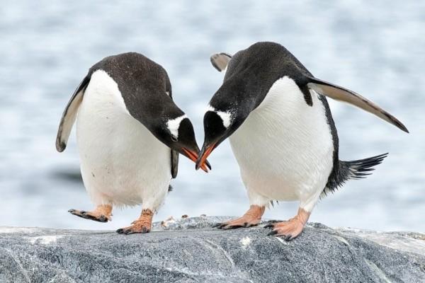 Ilmuwan Curiga Penguin Gentoo Jelmaan Alien, Ini Alasannya