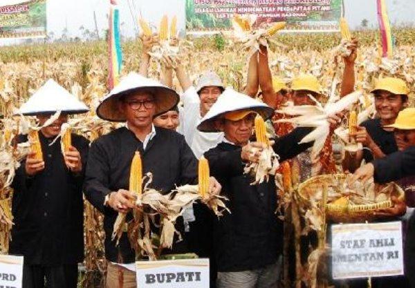 Panen Raya di Sinaboi, Bupati Harap Petani Tidak Alihfungsikan Lahan