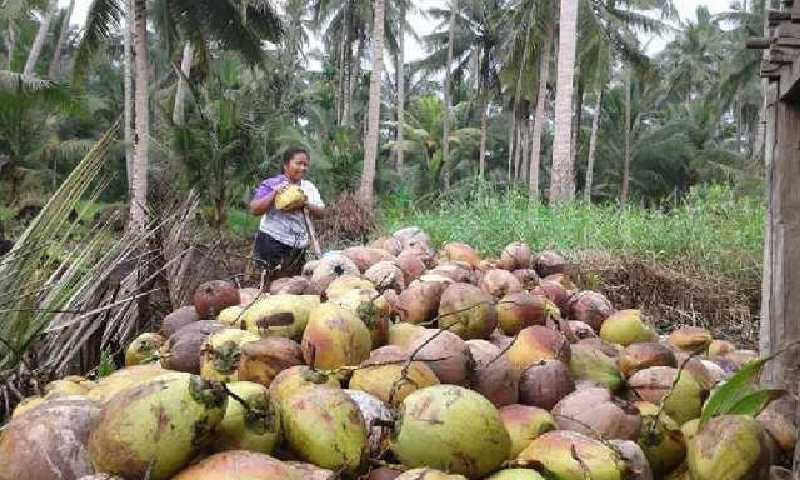 Pemkab Inhil Tolak Pembatasan Ekspor Buah Kelapa