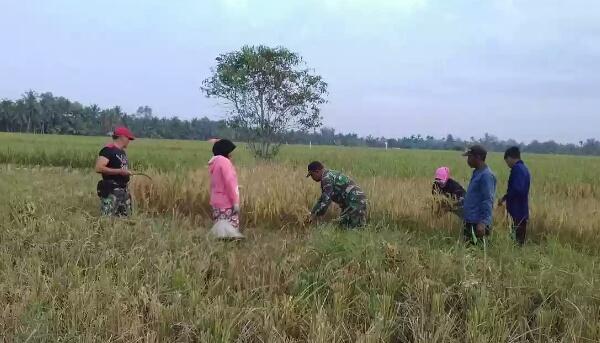 Meski Disibukkan Dengan TMMD, Koramil 07/Reteh Masih Sempat Terjunkan Anggotanya Untuk Bantu Petani