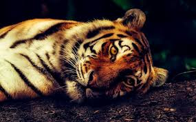 Warga Kuansing Ditetapkan Jadi Tersangka Pembunuhan Harimau Sumatera