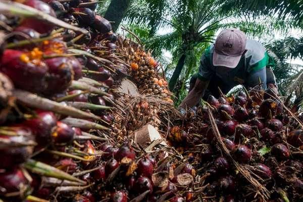 Harga Sawit di Riau Tembus Rp 3.000/kg, Disbun Riau: Pecah Rekor Tertinggi
